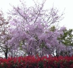 【京都】丸山公園の桜と長楽館