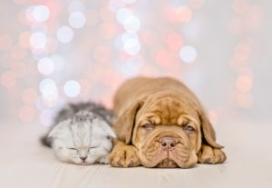 Puppy and baby kitten sleeping together. Christmas holidays background.